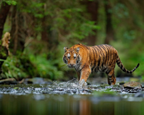 Tracking Large Cats